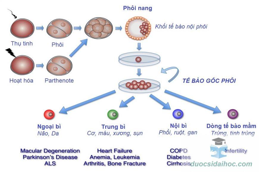 Tác động của phôi bào đa nhân lên tiềm năng phát triển